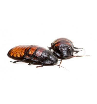 Blatte de Madagascar adulte
