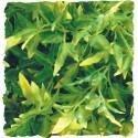 Plante Bolivian Croton déco pour terrarium 56cm