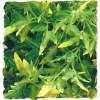 Plante Bolivian Croton déco pour terrarium 46cm