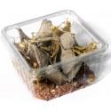 Criquets pèlerins adultes grande taille 6 à 7 cm