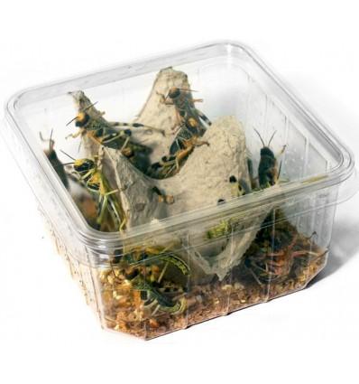Criquet pèlerin subadulte taille 3 à 5 cm