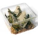 Criquets pèlerins subadultes taille 3 à 5 cm